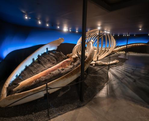 Blauwalskelett im Walmuseum Húsavík