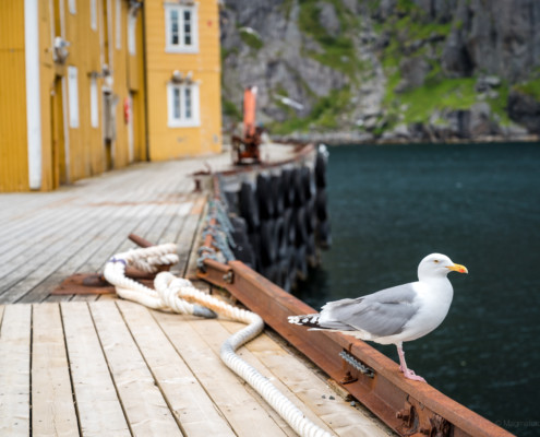 Möwe im Nusfjord